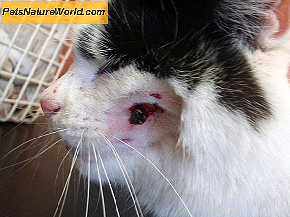 Cat Abscess Treatment