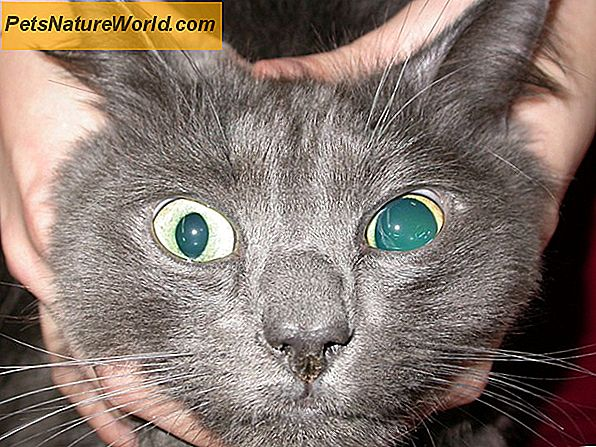 Detached Retina in Cats