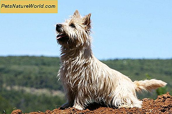 Cairn Terrier Grooming Tips