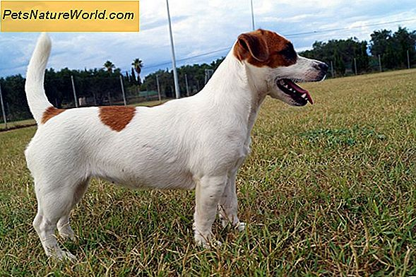Jack Russell Terrier trainingstips