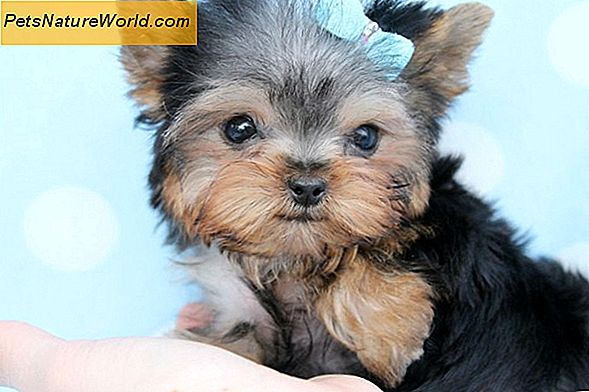 Yorkshire Terrier Puppy Training Tips