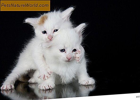 Kitten- und Katzen-Geschlechtsbestimmung