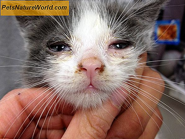 Feline Respiratory Infection