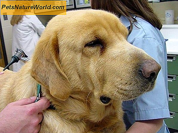 Thyroxine for Dogs