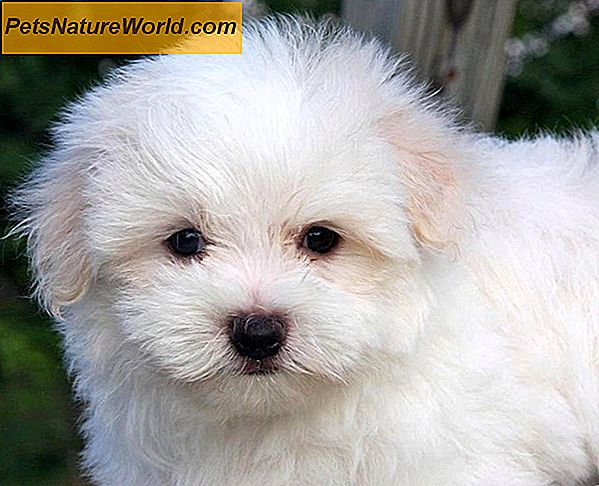 White Shaker Dog Syndrome