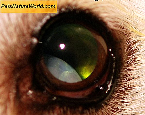 Canine Cataract Surgery vs Medicinal Treatment
