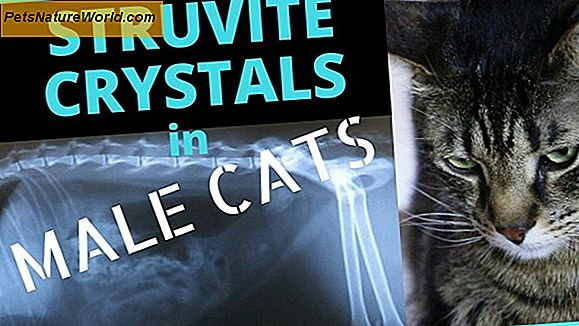Struvite Crystals in Cats
