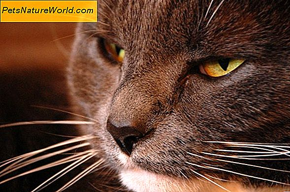 Cat Distemper Vaccine Side Effects