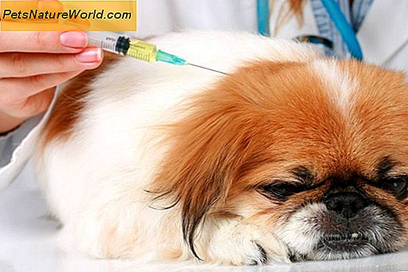 My Canine is Diabetic: Planning Daily Oefening