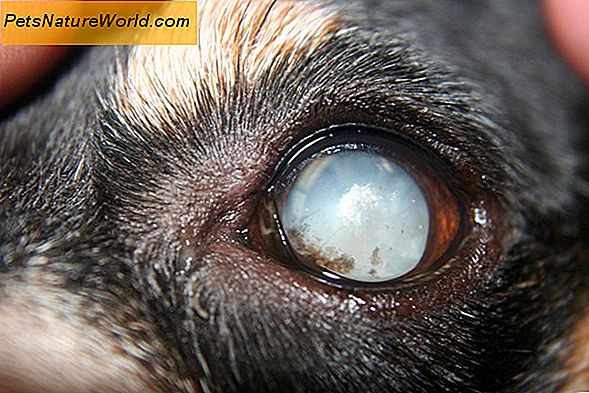 Canine Cataract Chirurgie vs. Medicinale behandeling
