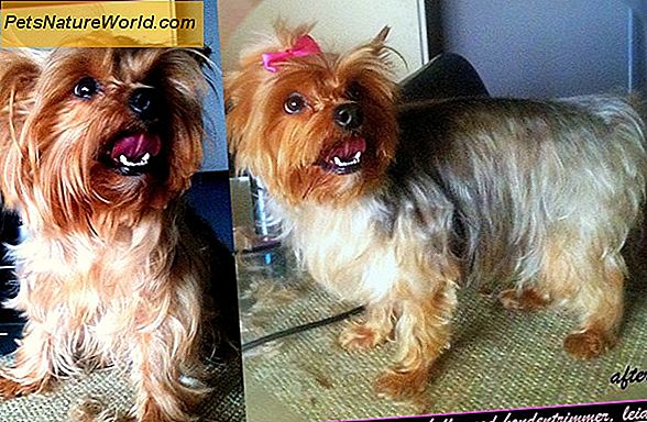 Yorkie Dog Grooming Tips