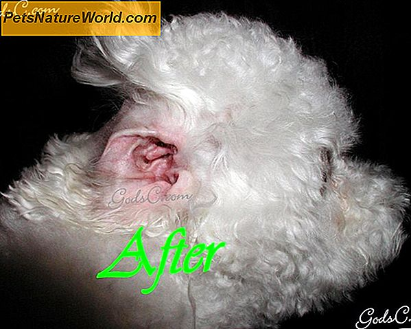 Basic Dog Ear Infection Treatment
